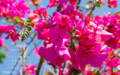 【PC用カレンダー壁紙】Bougainvillea【8月】