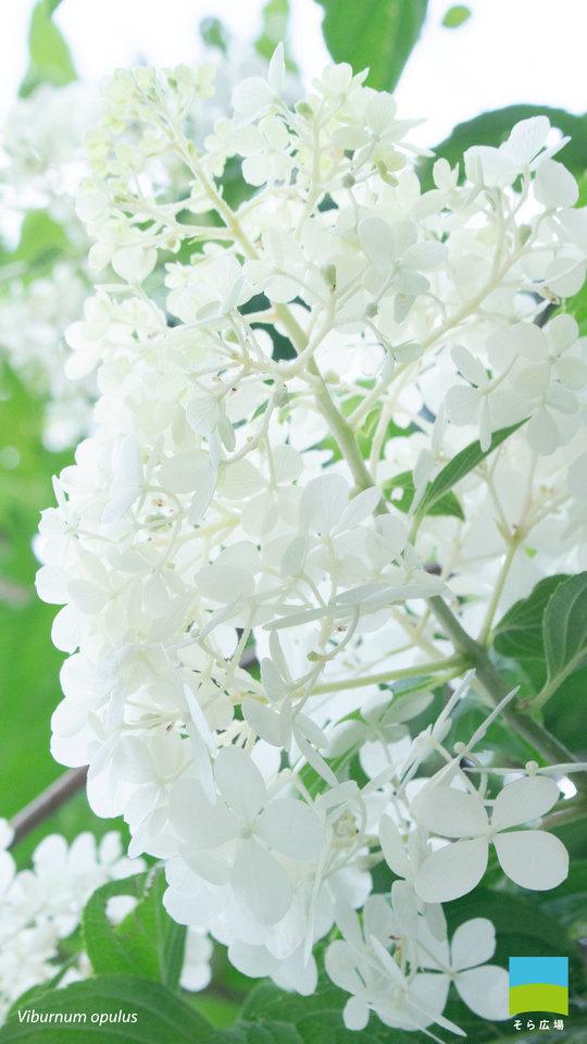 【X peria対応】Viburnum opulus【8月】