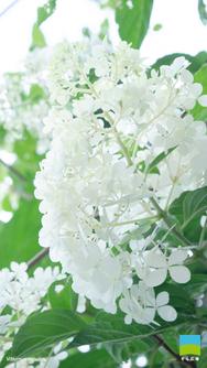 【iPhone 6/7/8対応】Viburnum opulus【7月】