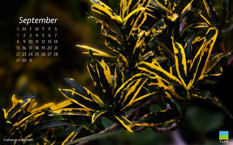 【PC用カレンダー壁紙】Codiaeum variegatum【9月】