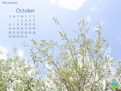 【PC用カレンダー壁紙】Olea europaea【10月】