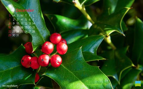 【PC用カレンダー壁紙】Ilex aquifolium【12月】