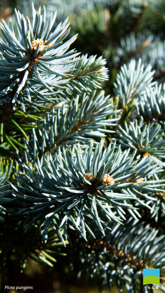【Android対応】Picea pungens【12月】