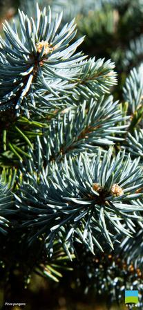 【iPhone X以降対応】Picea pungens【12月】