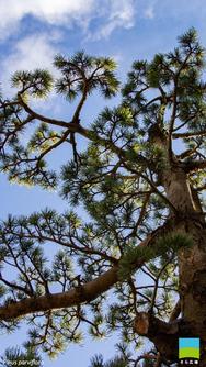 【iPhone 6/7/8対応】Pinus parviflora【1月】