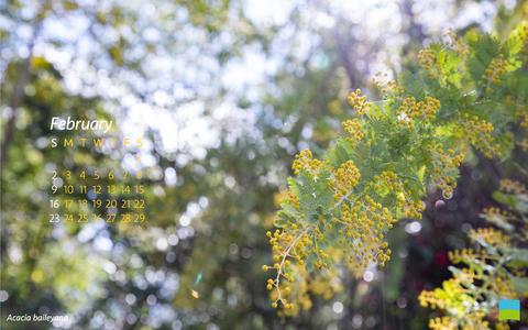 【PC用カレンダー壁紙】Acacia baileyana【2月】