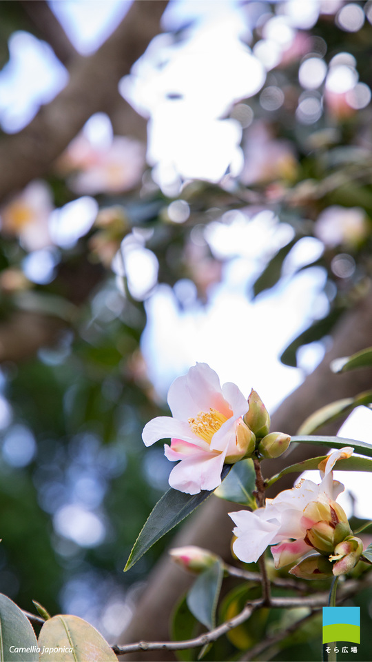 【Android対応】Camellia japonica【2月】