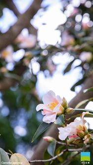 【iPhone 6/7/8対応】Camellia japonica【2月】