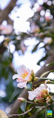 【iPhone X以降対応】Camellia japonica【2月】