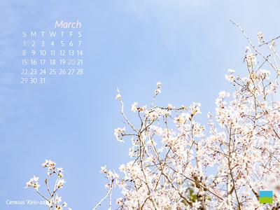 【PC用カレンダー壁紙 uxga】Cerasus 'Keio-zakura'【3月】