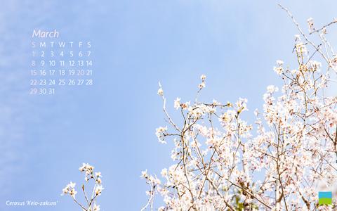 【PC用カレンダー壁紙 Wuxga】Cerasus 'Keio-zakura'【3月】
