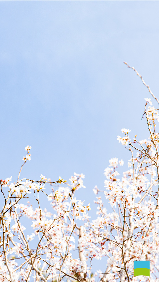 【Android対応】Cerasus 'Keio-zakura'【3月】