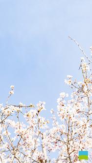 【iPhone 6/7/8対応】Cerasus 'Keio-zakura'【3月】