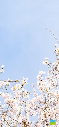 【iPhone X以降対応】Cerasus 'Keio-zakura'【3月】
