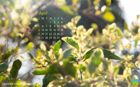 【PC用カレンダー壁紙 Wuxga】Ligustrum sinense 'Variegatum'【4月】