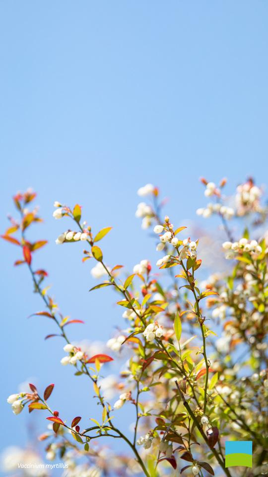 【Android対応】Vaccinium myrtillus【5月】