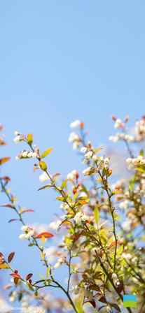 【iPhone X以降対応】Vaccinium myrtillus【5月】