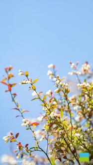 【iPhone 6/7/8対応】Vaccinium myrtillus【5月】