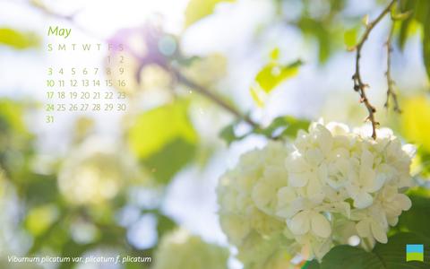 【PC用カレンダー壁紙 Wuxga】Viburnum plicatum var. plicatum f. plicatum【5月】
