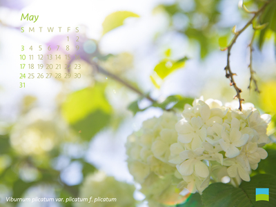 【PC用カレンダー壁紙 uxga】Viburnum plicatum var. plicatum f. plicatum【5月】