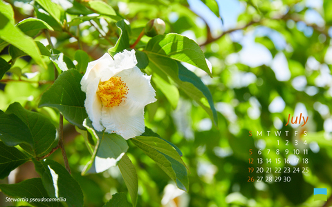 【PC用カレンダー壁紙 Wuxga】Stewartia pseudocamellia【7月】