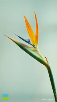 【iPhone 6/7/8対応】Strelitzia reginae【9月】