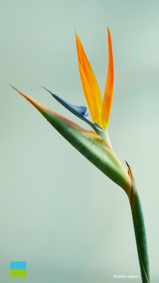 【Android対応】Strelitzia reginae【9月】