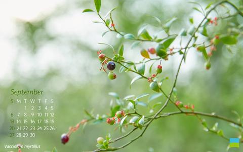 【PC用カレンダー壁紙 Wuxga】Vaccinium myrtillus【9月】