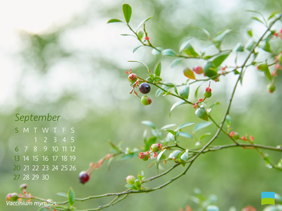 【PC用カレンダー壁紙 uxga】Vaccinium myrtillus【9月】