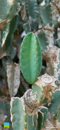 【iPhoneX以降】Cereus peruvianus【10月】