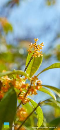 【11月】Osmanthus fragrans var. aurantiacus【iPhone X以降】