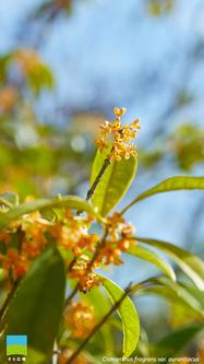 【11月】Osmanthus fragrans var. aurantiacus【iPhone6/7/8】