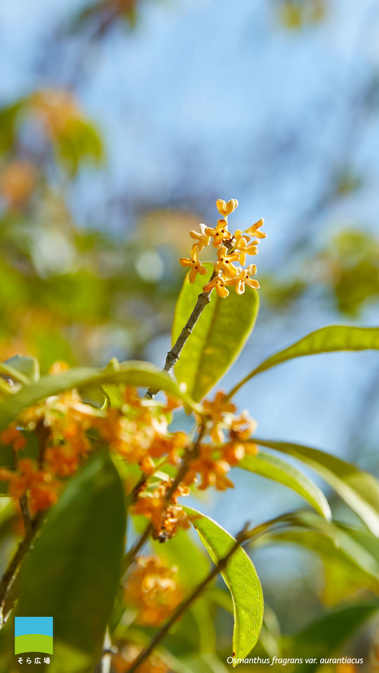 【11月】Osmanthus fragrans var. aurantiacus【Android】