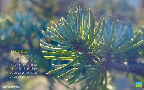 【PC用カレンダー壁紙】Cedrus atlantica【12月】
