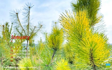 【PC用カレンダー壁紙】Pinus densiflora 'Oculus-draconis'【1月】