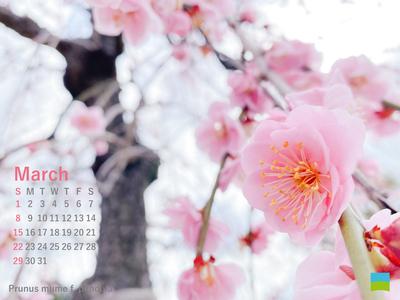 【PC用カレンダー壁紙】Prunus mume f.pendula【3月】