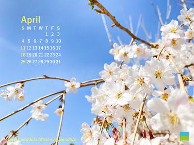 【PC用カレンダー壁紙】Prumes pendula Maxim cv.pendula【4月】