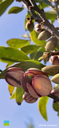 【5月】Michelia compressa【iPhoneX〜】