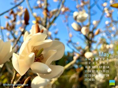 【PC用カレンダー壁紙】Michelia compressa【5月】