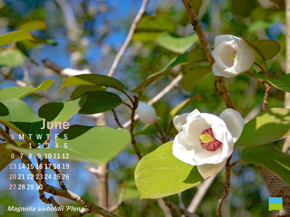 【PC用カレンダー壁紙】Magnolia sieboldii 'Plena'【6月】