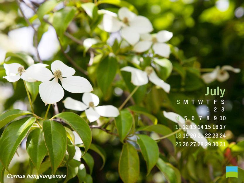 【PC用カレンダー壁紙】Cornus hongkongensis【7月】