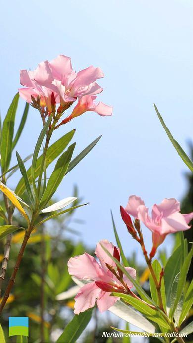【7月】Nerium oleander var. indicum【〜iPhone8】