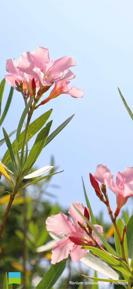 【7月】Nerium oleander var. indicum【iphone X〜】