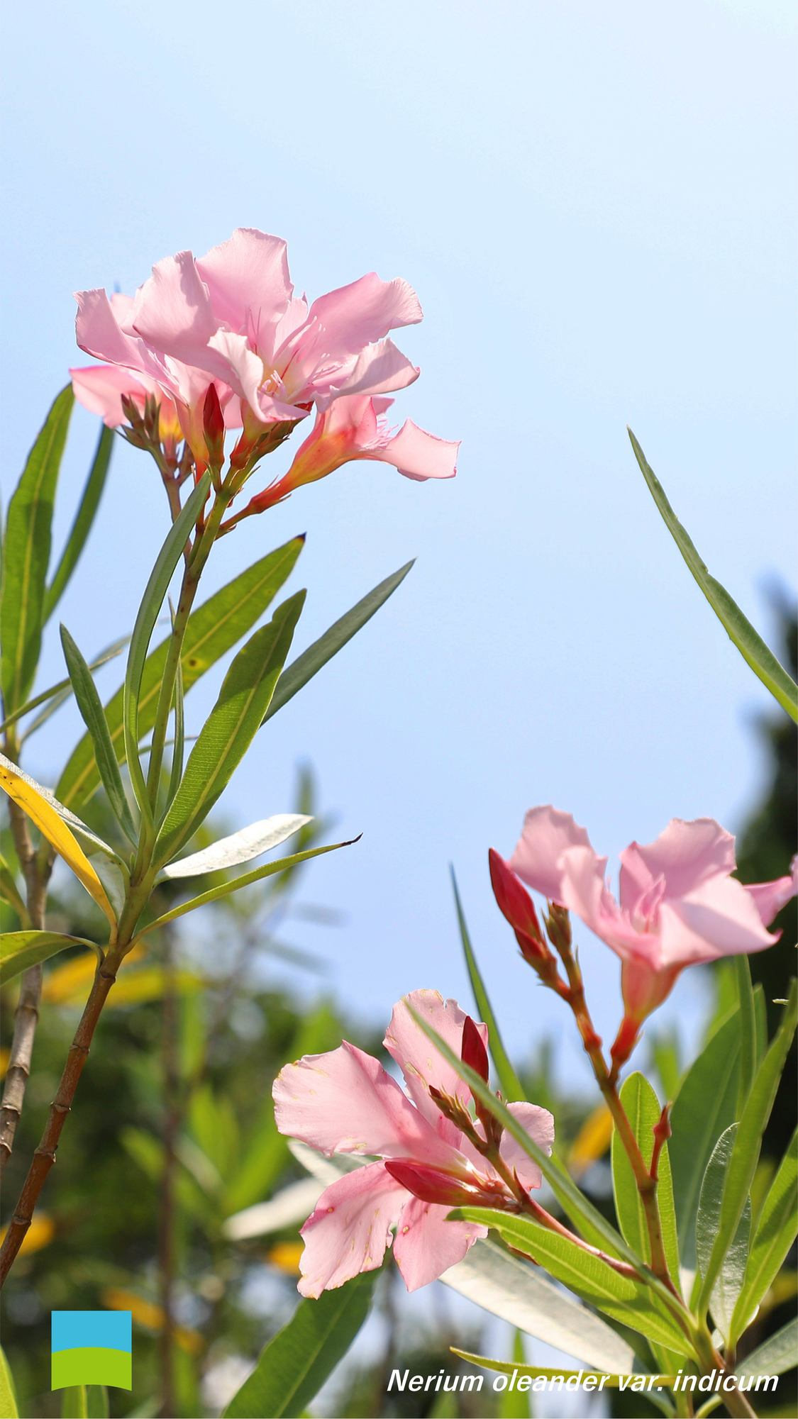 【7月】Nerium oleander var. indicum【Android】